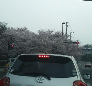 桜が綺麗です★